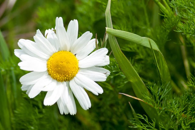 Poison Daisy Poisoning in Cats - Symptoms, Causes, Diagnosis, Treatment, Recovery, Management, Cost