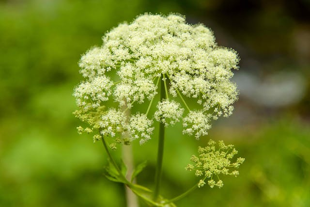 Poison Parsnip Poisoning in Cats - Symptoms, Causes, Diagnosis, Treatment, Recovery, Management, Cost