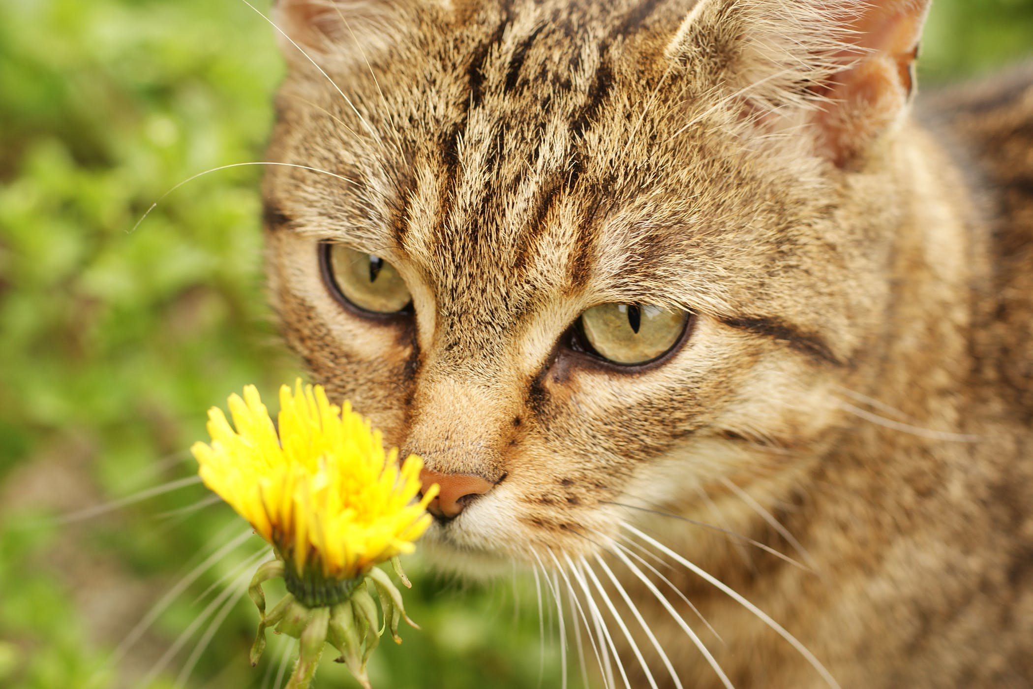 Pollen Allergy In Cats Symptoms Causes Diagnosis