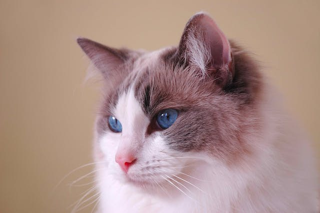 Polycystic Kidney Disease in Cats - Symptoms, Causes, Diagnosis, Treatment, Recovery, Management, Cost