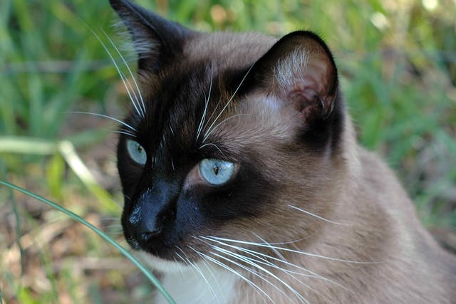 Polyneuropathy in Cats - Symptoms, Causes, Diagnosis, Treatment, Recovery, Management, Cost