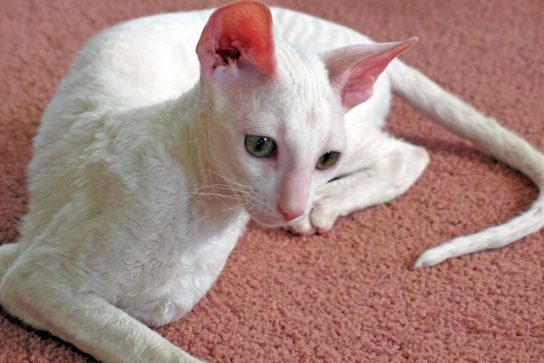 Preputial Discharge in Cats