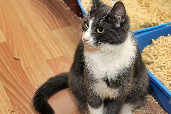 Prostate Cancer in Cats - Symptoms, Causes, Diagnosis, Treatment, Recovery, Management, Cost
