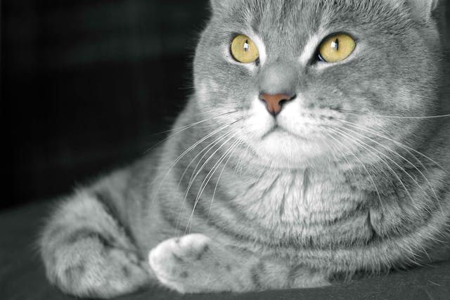 Prostate Enlargement in Cats - Symptoms, Causes, Diagnosis, Treatment, Recovery, Management, Cost