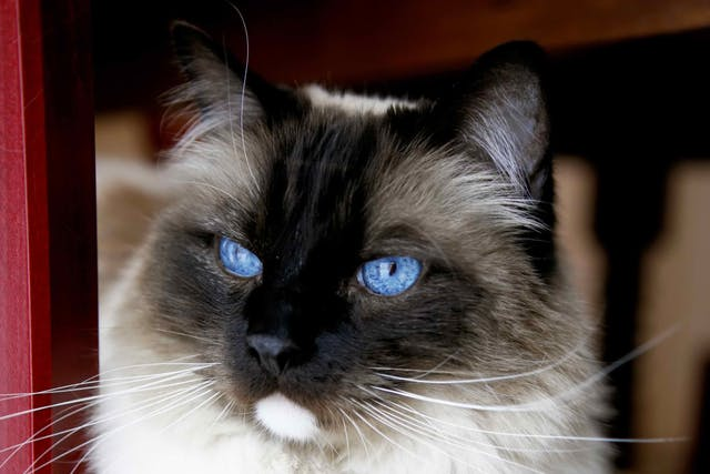 Prostatic Cysts in Cats - Symptoms, Causes, Diagnosis, Treatment, Recovery, Management, Cost