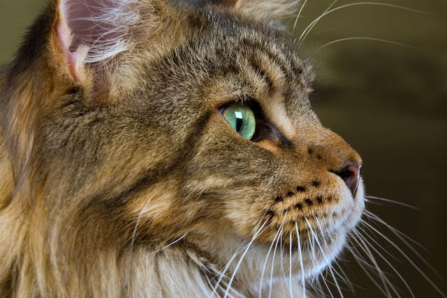Protein Losing Nephropathy in Cats - Symptoms, Causes, Diagnosis, Treatment, Recovery, Management, Cost