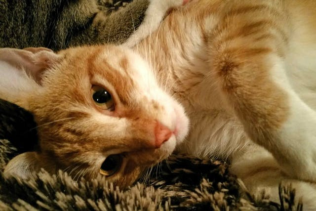 Pyloroplasty in Cats - Conditions Treated, Procedure, Efficacy, Recovery, Cost, Considerations, Prevention