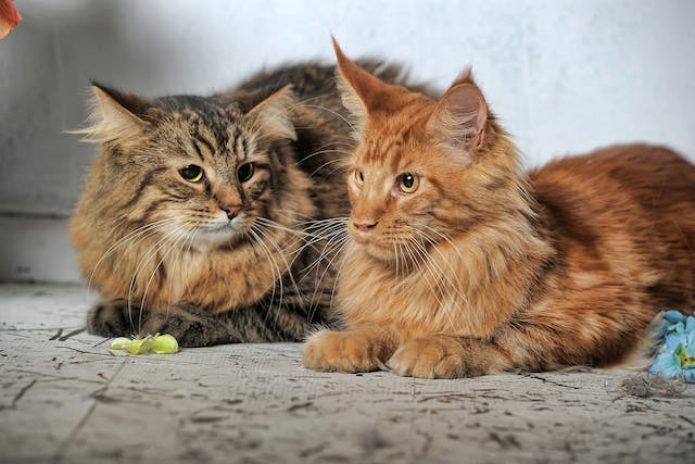 Pyometra in Cats - Symptoms, Causes, Diagnosis, Treatment, Recovery, Management, Cost