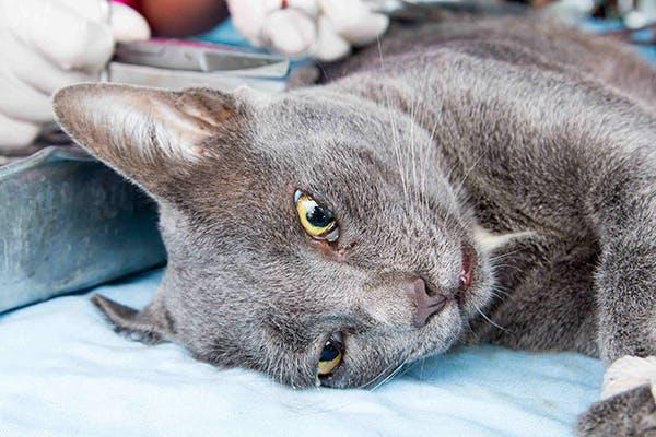 symptoms of rabies in cats