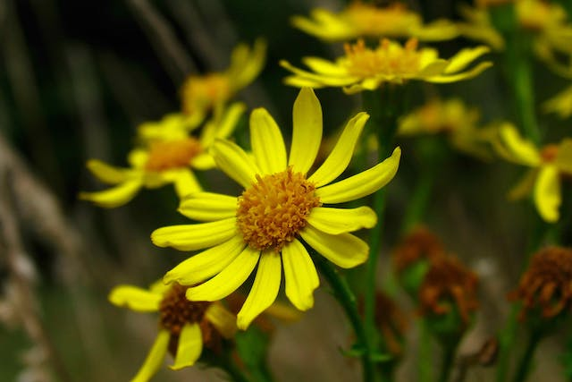 Ragwort Poisoning in Cats - Symptoms, Causes, Diagnosis, Treatment, Recovery, Management, Cost