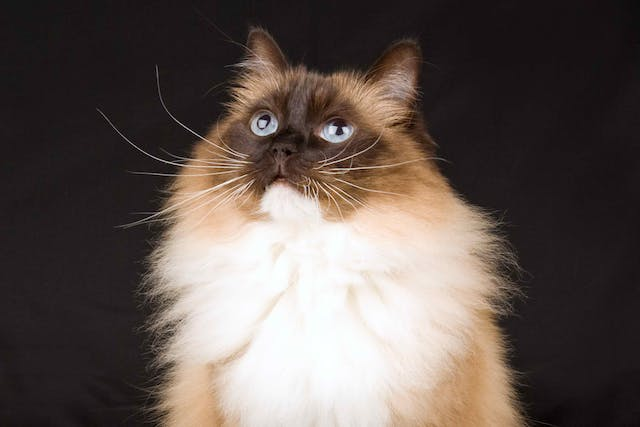 Rapid Breathing in Cats - Symptoms, Causes, Diagnosis, Treatment, Recovery, Management, Cost