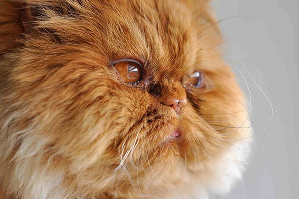 Red Eye in Cats - Symptoms, Causes, Diagnosis, Treatment, Recovery