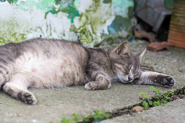 Retained Placenta in Cats - Signs, Causes, Diagnosis, Treatment, Recovery, Management, Cost