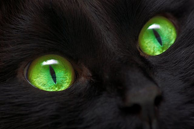 Retinal Detachment in Cats - Symptoms, Causes, Diagnosis, Treatment, Recovery, Management, Cost