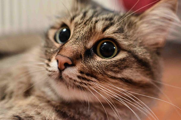 Retinal Swelling in Cats - Symptoms, Causes, Diagnosis, Treatment, Recovery, Management, Cost