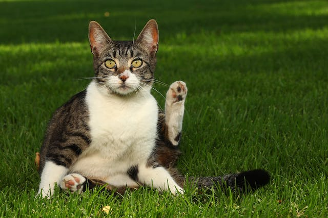 Revolution Allergy in Cats - Symptoms, Causes, Diagnosis, Treatment, Recovery, Management, Cost