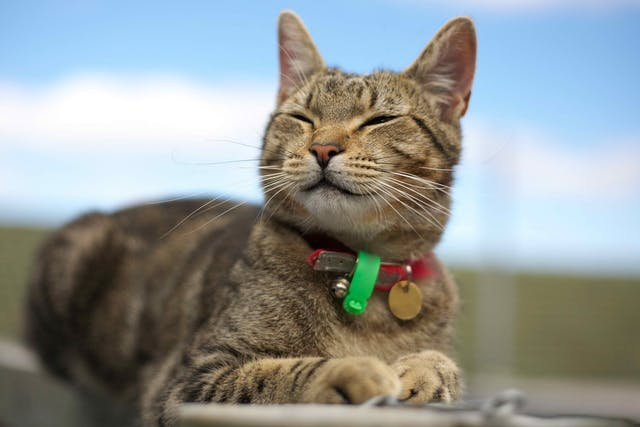 Rickettsial Infection in Cats - Symptoms, Causes, Diagnosis, Treatment, Recovery, Management, Cost