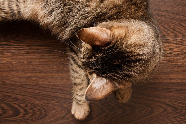 Ringworm in Cats - Symptoms, Causes, Diagnosis, Treatment, Recovery, Management, Cost