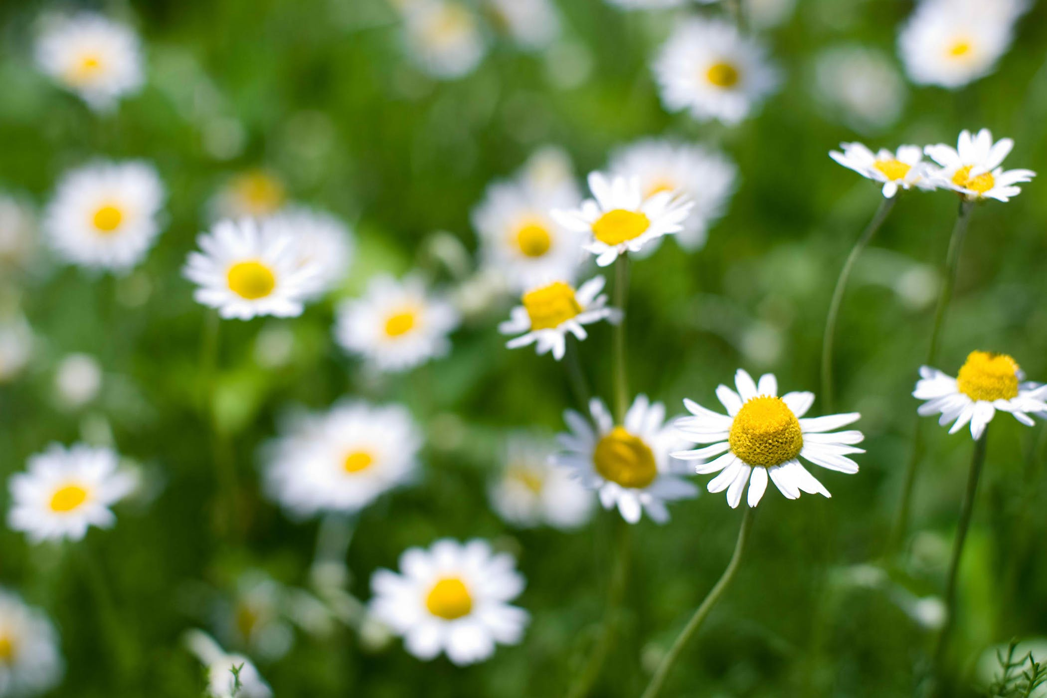 Roman Chamomile Poisoning in Cats