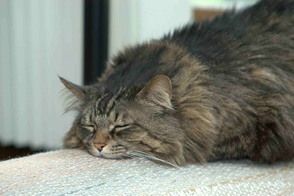 Roundworms in Cats - Symptoms, Causes, Diagnosis, Treatment, Recovery, Management, Cost