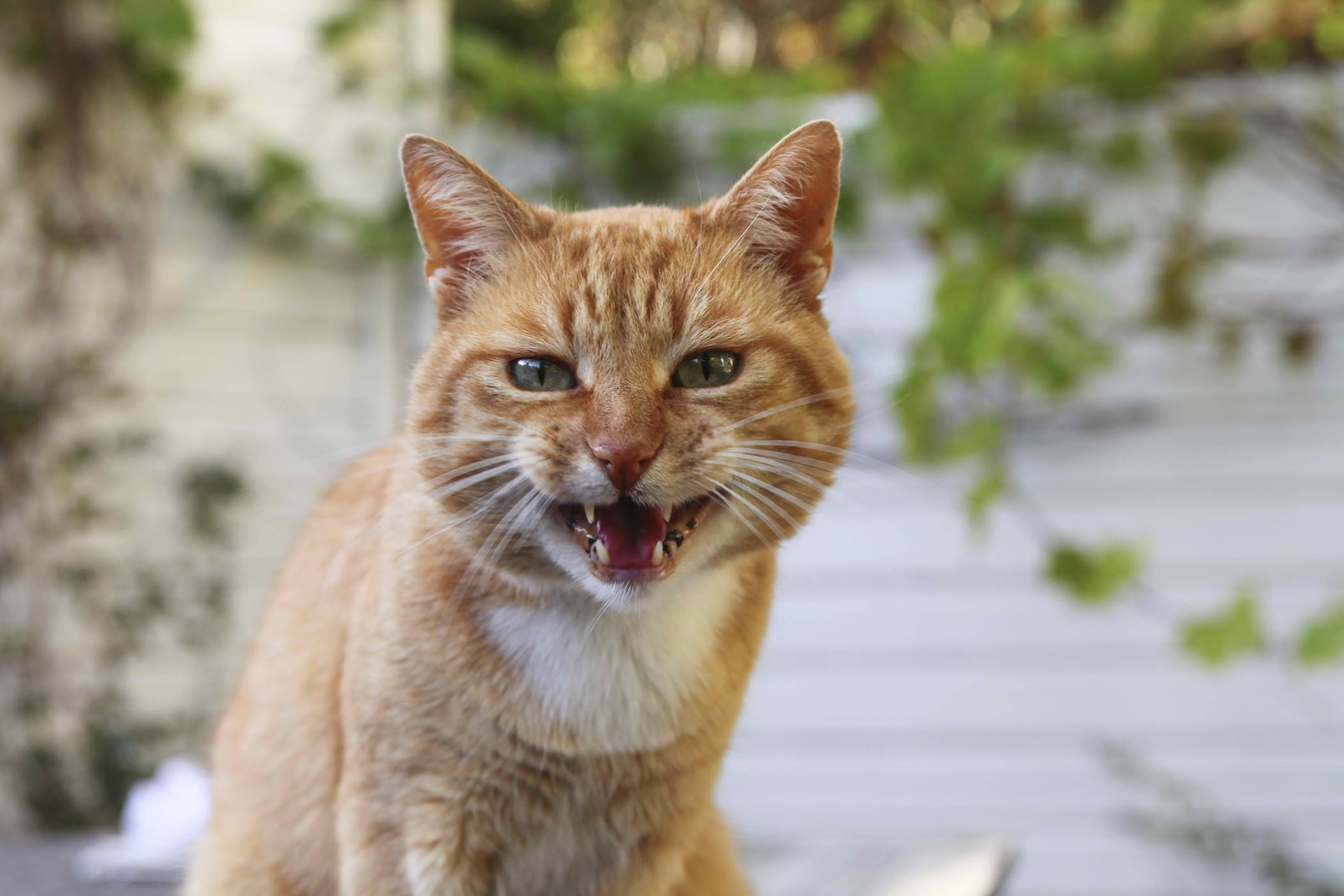 Rupture of the Bladder in Cats - Symptoms, Causes, Diagnosis