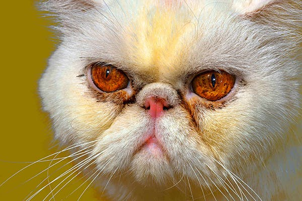 Salivary Gland Swelling in Cats - Symptoms, Causes
