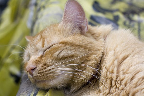 Salmonella Infection in Cats - Symptoms, Causes, Diagnosis, Treatment, Recovery, Management, Cost