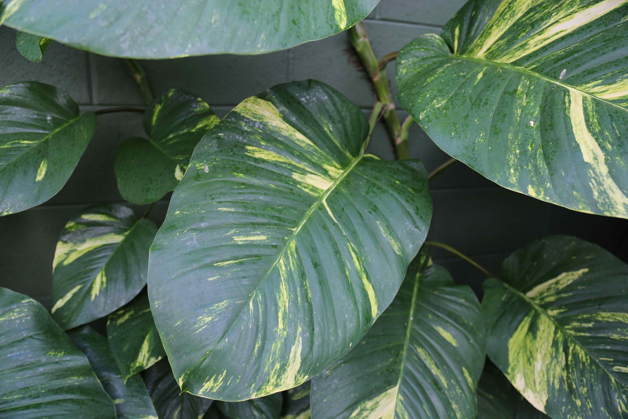 Satin Pothos Poisoning in Cats