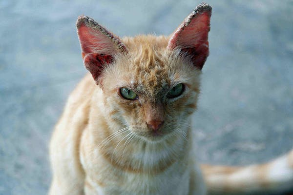 Scaly Skin in Cats - Symptoms, Causes, Diagnosis, Treatment, Recovery, Management, Cost