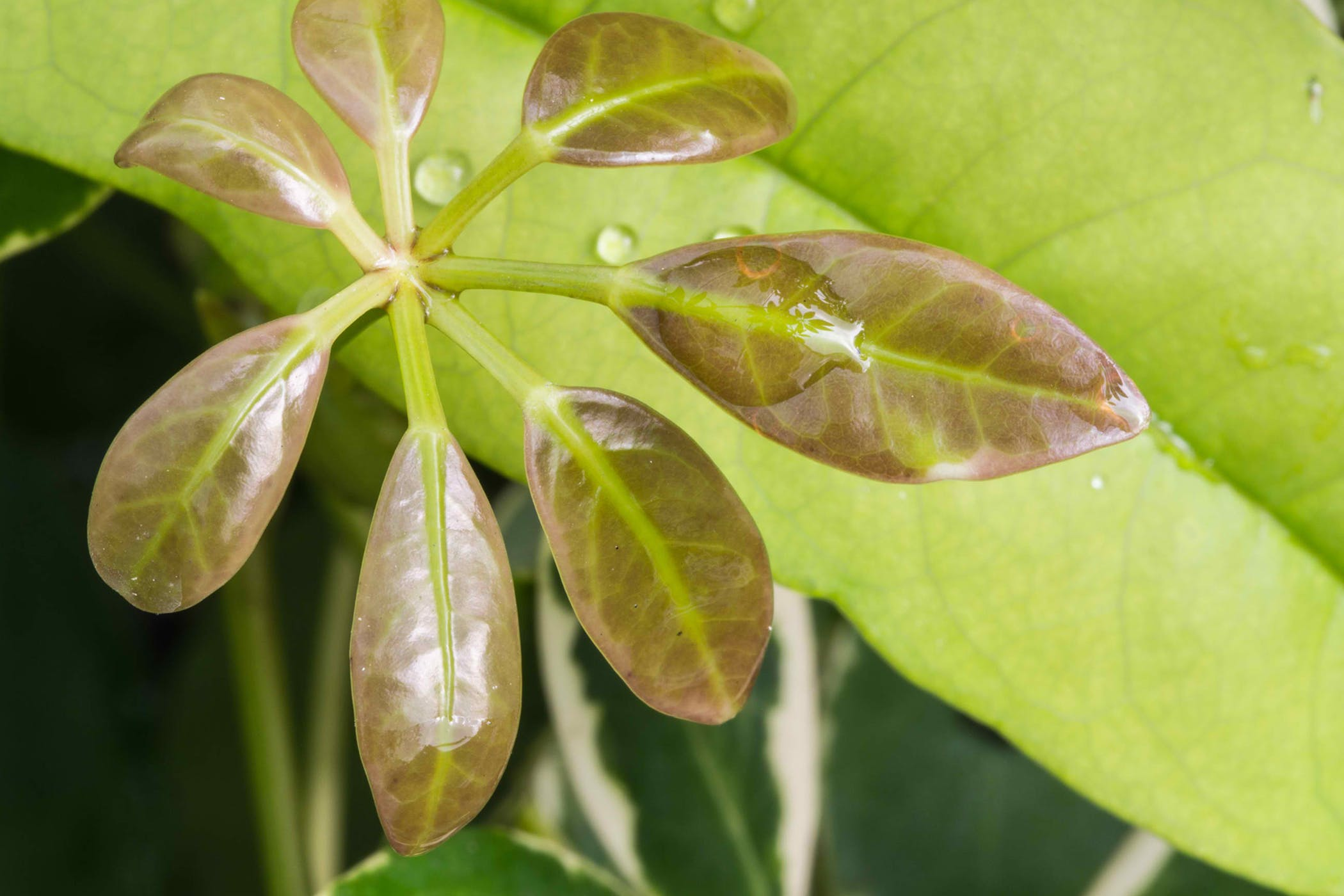 Schefflera Poisoning In Cats