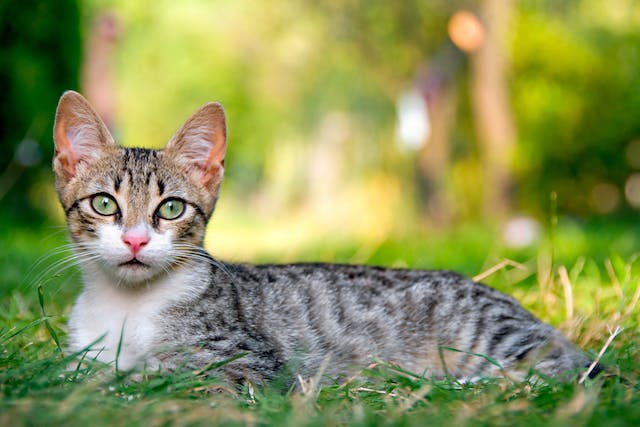 Science Diet Allergy in Cats - Symptoms, Causes, Diagnosis, Treatment, Recovery, Management, Cost