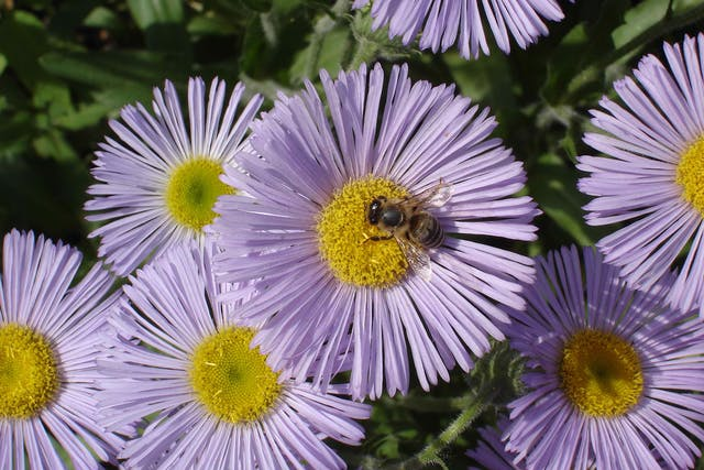 Seaside Daisy Poisoning in Cats - Symptoms, Causes, Diagnosis, Treatment, Recovery, Management, Cost