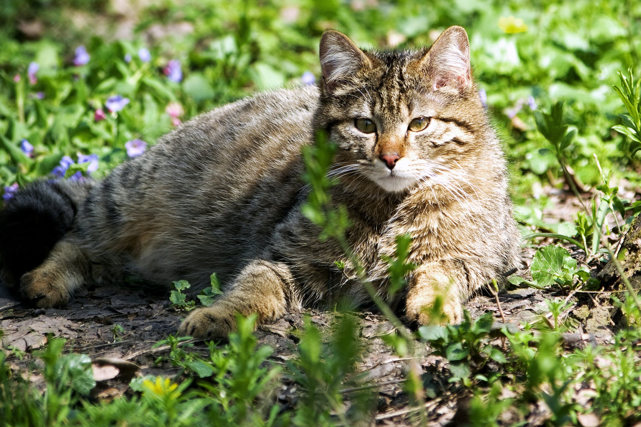 Sebaceous Cysts in Cats - Symptoms, Causes, Diagnosis