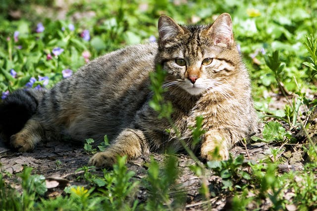 Sebaceous Cysts in Cats - Symptoms, Causes, Diagnosis, Treatment, Recovery, Management, Cost