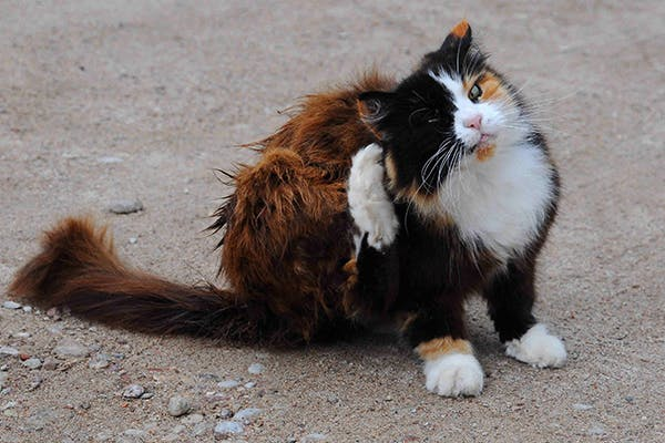 Seborrhea in Cats - Symptoms, Causes, Diagnosis, Treatment, Recovery, Management, Cost