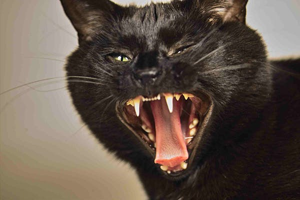 Seizures in Cats - Symptoms, Causes, Diagnosis, Treatment, Recovery, Management, Cost