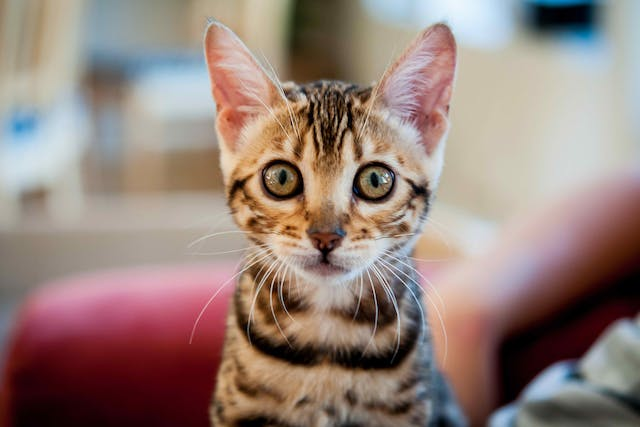 Separation Anxiety in Cats - Symptoms, Causes, Diagnosis, Treatment, Recovery, Management, Cost