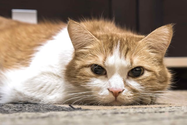 Septic Arthritis in Cats - Symptoms, Causes, Diagnosis, Treatment, Recovery, Management, Cost