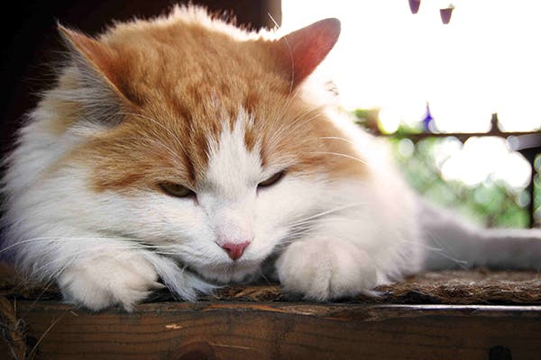 Septicemia And Bacteremia In Cats Symptoms Causes
