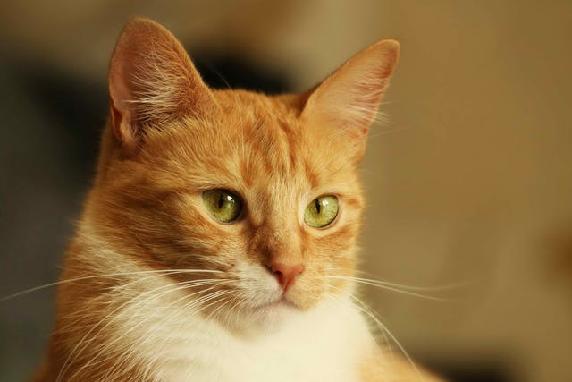 Shock Due to Heart Failure in Cats - Symptoms, Causes, Diagnosis, Treatment, Recovery, Management, Cost