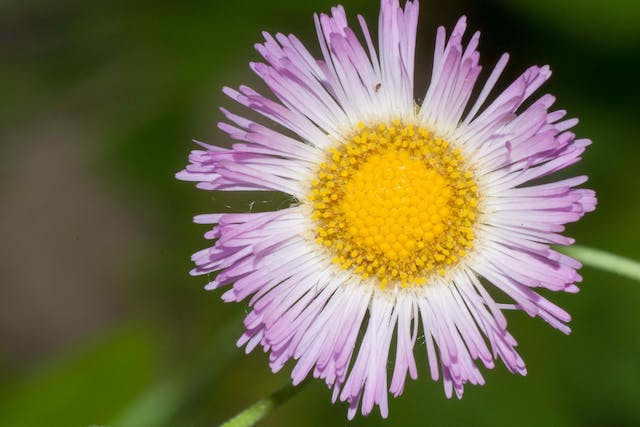 Showy Daisy Poisoning in Cats - Symptoms, Causes, Diagnosis, Treatment, Recovery, Management, Cost