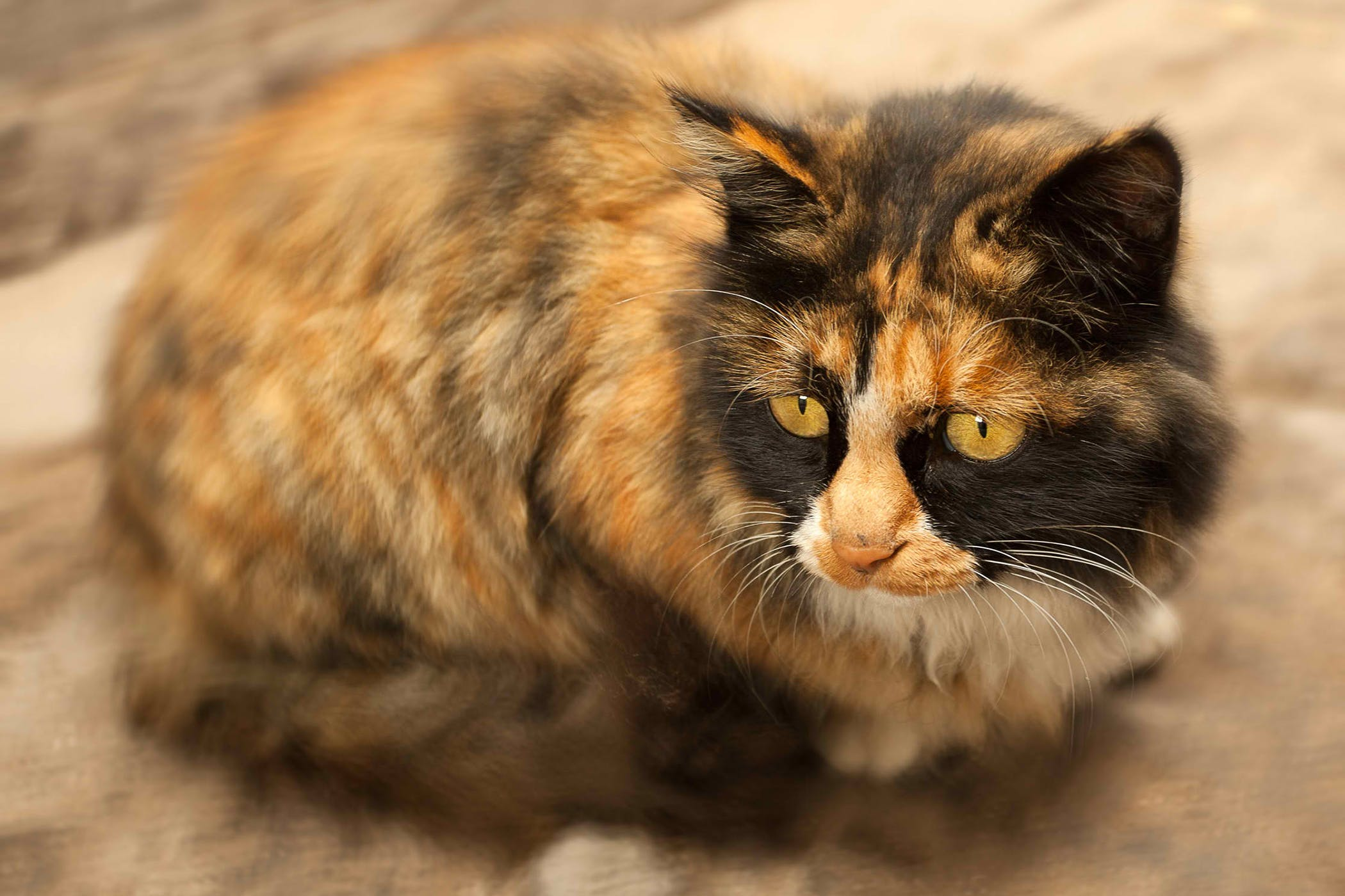 Side Effects Of Anxiety Medications in Cats - Symptoms