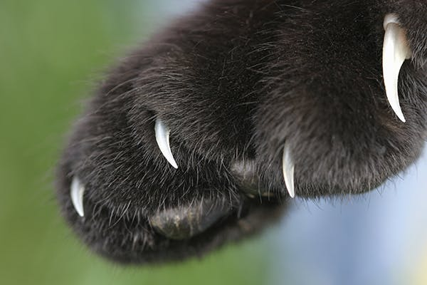 Skin and Toe Cancer in Cats - Symptoms, Causes, Diagnosis, Treatment, Recovery, Management, Cost