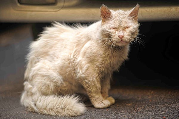 Skin Mite Dermatitis In Cats Symptoms Causes Diagnosis