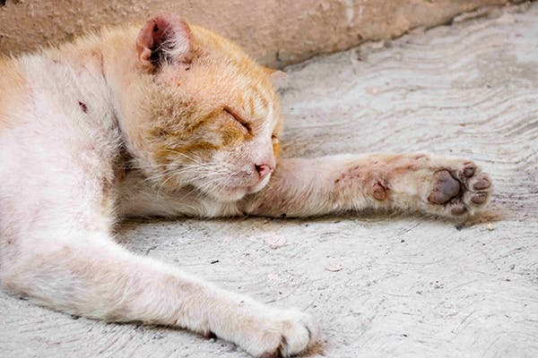 Skin Rash In Cats Symptoms Causes Diagnosis Treatment Recovery