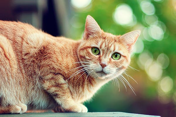 Small Sized Testes in Cats - Symptoms, Causes, Diagnosis, Treatment, Recovery, Management, Cost