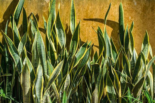 Snake Plant Poisoning in Cats - Symptoms, Causes, Diagnosis, Treatment, Recovery, Management, Cost