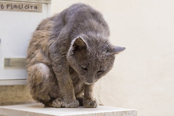 Soft Palate Disorders in Cats - Symptoms, Causes, Diagnosis ...