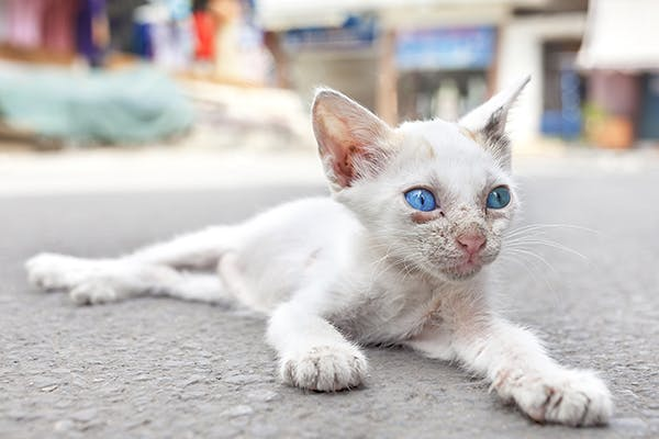 Soft Tissue Cancer in Cats - Symptoms, Causes, Diagnosis, Treatment, Recovery, Management, Cost