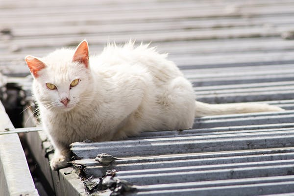 Soft Tissue Trauma in Cats - Symptoms, Causes, Diagnosis, Treatment, Recovery, Management, Cost